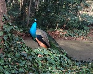 Павлин в парке Campo Grande