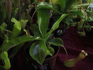 Хищные растения - непентес